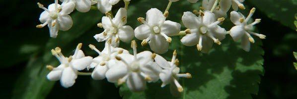 sureau-fleurs-feuilles-p
